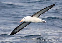 0088_DA_black-browed-albatross_Daniel-Allenx250