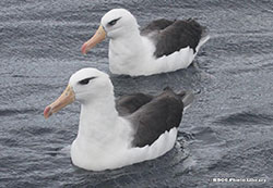 0088_MR_Black-browed-and-Campbell-Albatross-Mick-Roderickx250