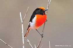 0381_as_0650_6583-red-capped-robin-yowah-250