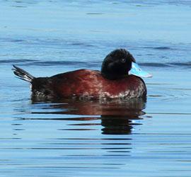 0216_0022_9158 - Blue Billed Duck (Male) Walka