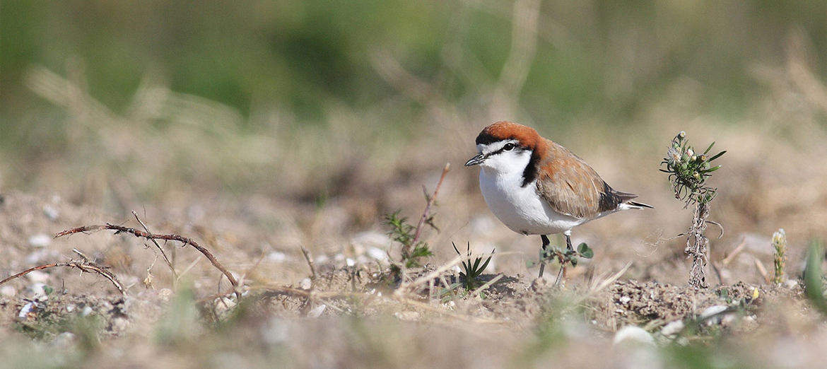 RedcappedPlover