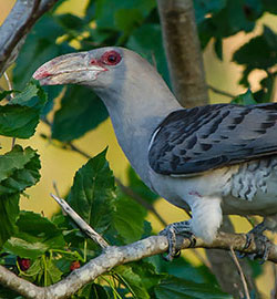Cuckoo,-Channel-billed---23616