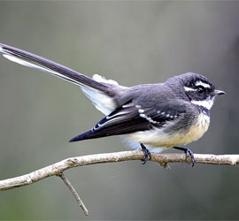 0361_0709_5631 Grey Fantail