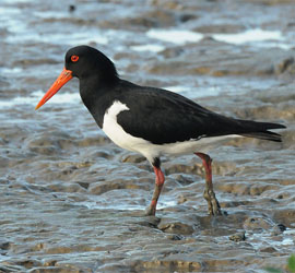 0130_0285_5990 Pied Oystercatcher - Cairns