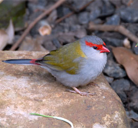 0662_0785_Finch - Red-Browed Firetail