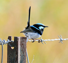 0529 506 1100 Superb Fairy Wren
