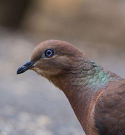 aa-brown-cuckoo-dove-15329