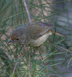 aa-brown-thornbill-28630