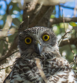 aa-powerful-owl-23729