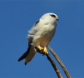 0232_0181_4864 Black Sholdered Kite