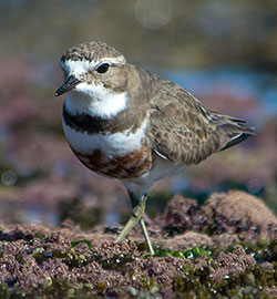 double-banded-plover-2108