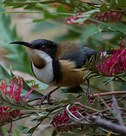 eastern-spinebill-3059