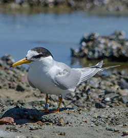 little-tern-tagged-39909
