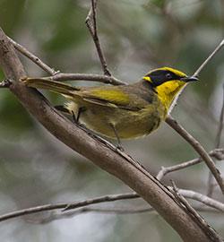 yellow-tufted-honeyeater-2893